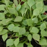 Winterportulak, Tellerkraut, Postelein (Claytonia perfoliata) Samen