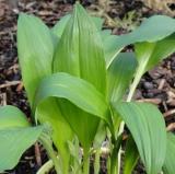 Bärlauch (Allium ursinum) Samen