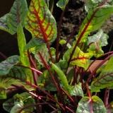 Blutampfer / Roter Sauerampfer (Rumex sanguineus) Samen