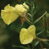 Nachtkerze, Oenothera biennis, Samen