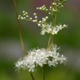 Mädesüß, Filipendula ulmaria, Samen