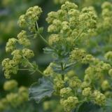 Frauenmantel,  Alchemilla vulgaris, Samen