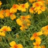Tagetes Orange / Tangerine Gem (Tagetes tenuifolia) Samen