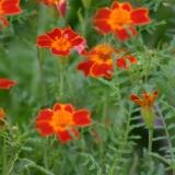 Tagetes Red Gem (Tagetes tenuifolia) Samen