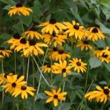 Gelber Sonnenhut, Rudbeckia, Samen