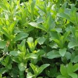 Grüne Minze (Mentha spicata), Samen