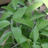 Salbei (Salvia officinalis) Samen