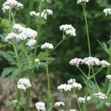 Baldrian, Valeriana officinalis, Samen