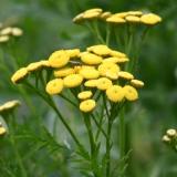 Rainfarn, Krauser Chartreuse Rainfarn, Tanacetum vulgare var. crispum, Samen