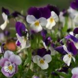 Hornveilchen Mix (Viola Cornuta) Samen