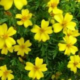 Tagetes Lemon Gem (Tagetes tenuifolia) Samen