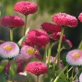 Gänseblümchen Bellis perennis pomponette Samen