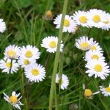 Gänseblümchen, wildes (Bellis perennis) Samen