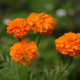 Tagetes, hohe, orange (Tagetes erecta) Samen