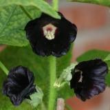 Stockrose, schwarz (Alcea rosea var. nigra) Samen
